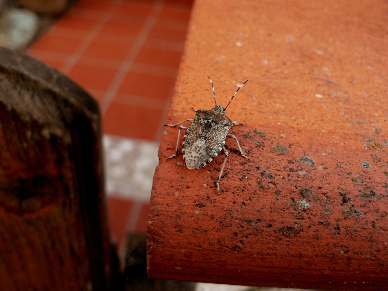 Cluster Flies, Conifer Beetles (Stink Bugs) And Lady Bugs