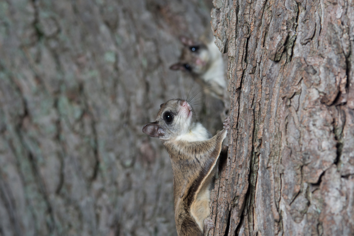 What Is There To Know About Flying Squirrels?