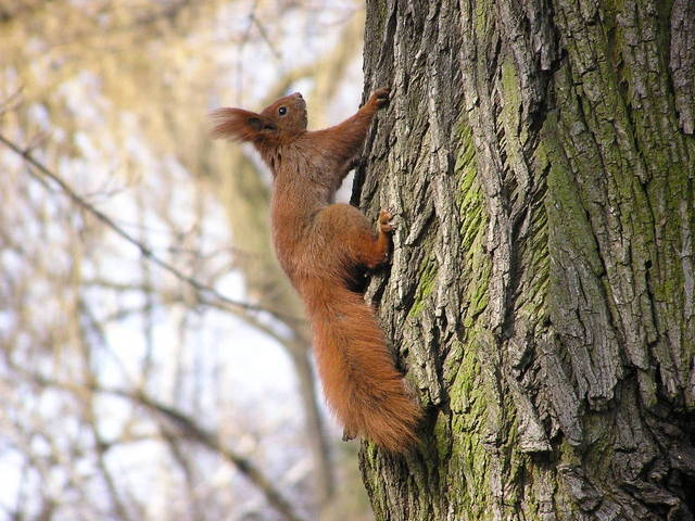 Red Squirrels In North America