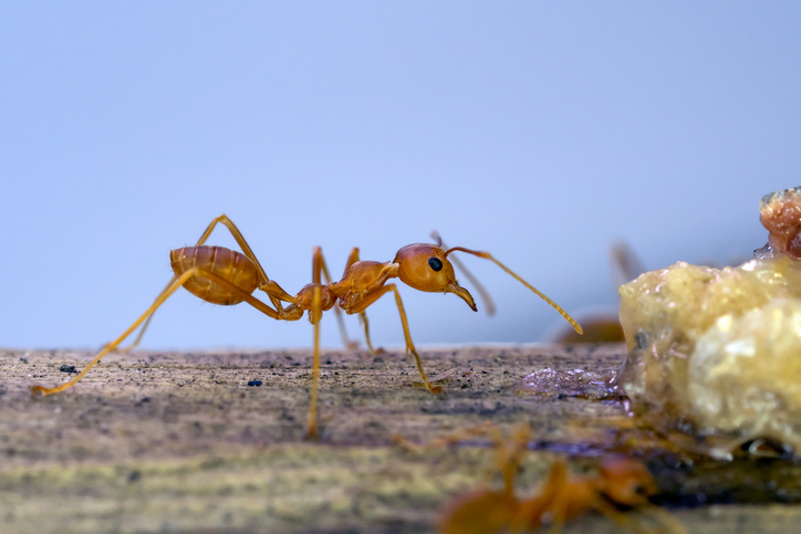 Citronella Ants- What Are They?