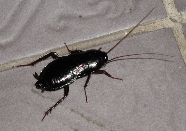 Cockroaches:  Exterminate Them Or Adopt One?