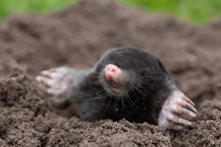 Moles- A Life Underground.