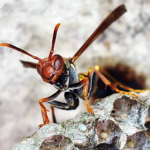 Wasp In The Hive